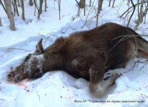 Какой штраф за убийство лося без лицензии самки в татарии