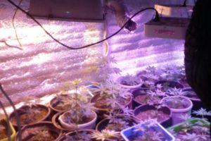 Закон о выращивании канабиса в россии 2020